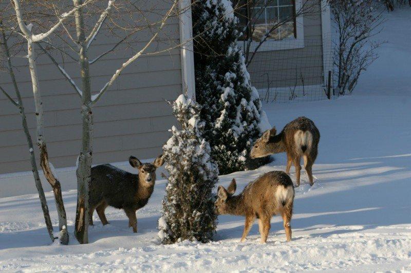 deer in yard colorado springs