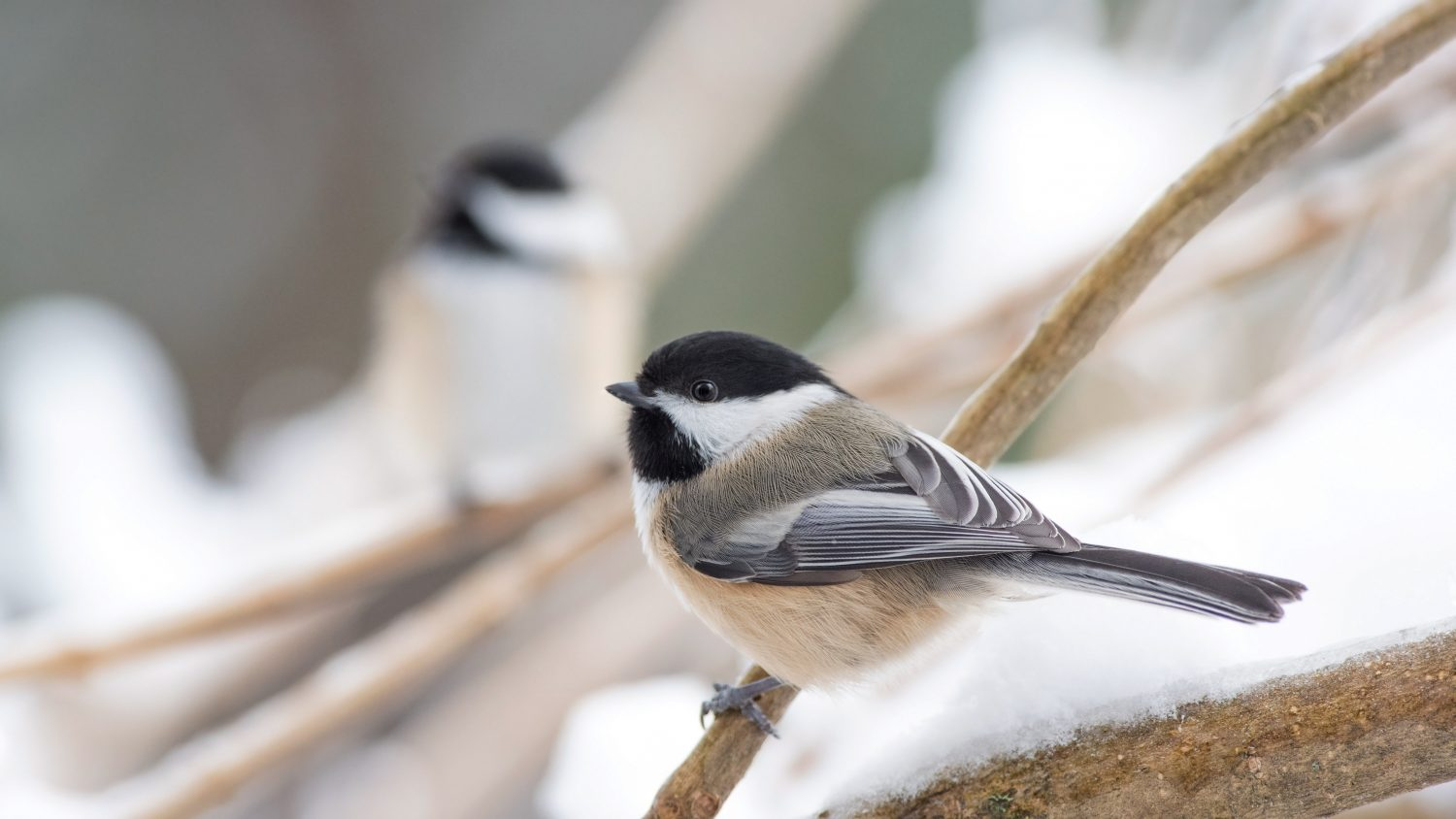 picture of two small birds on branches with snow