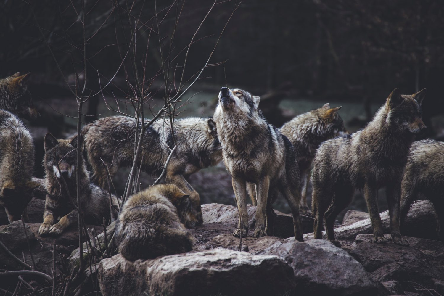 picture of pack of wolves and one is howling